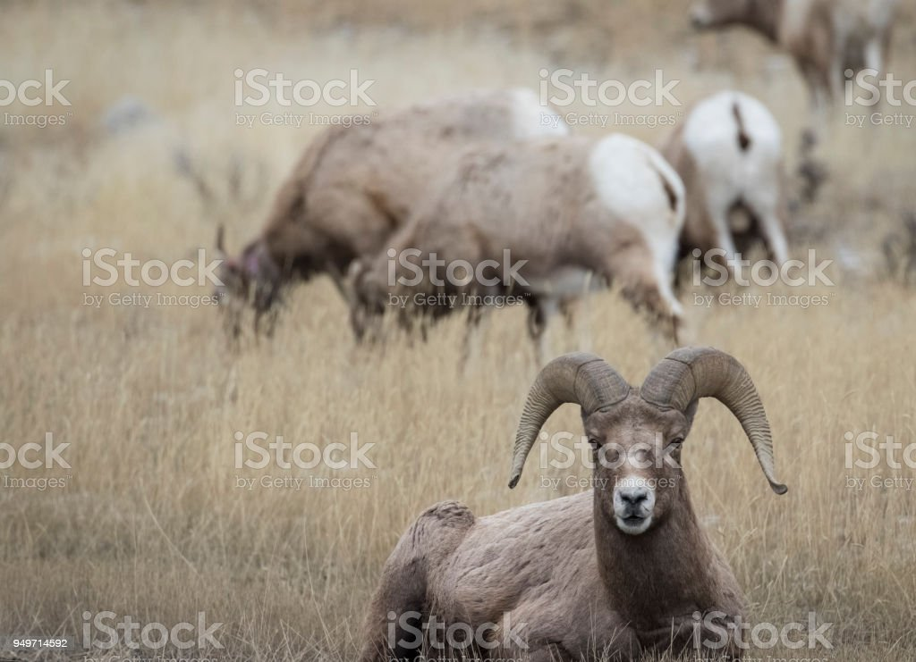 Bighorn Blatt sitzen im gelben Grases vor Herde – Foto