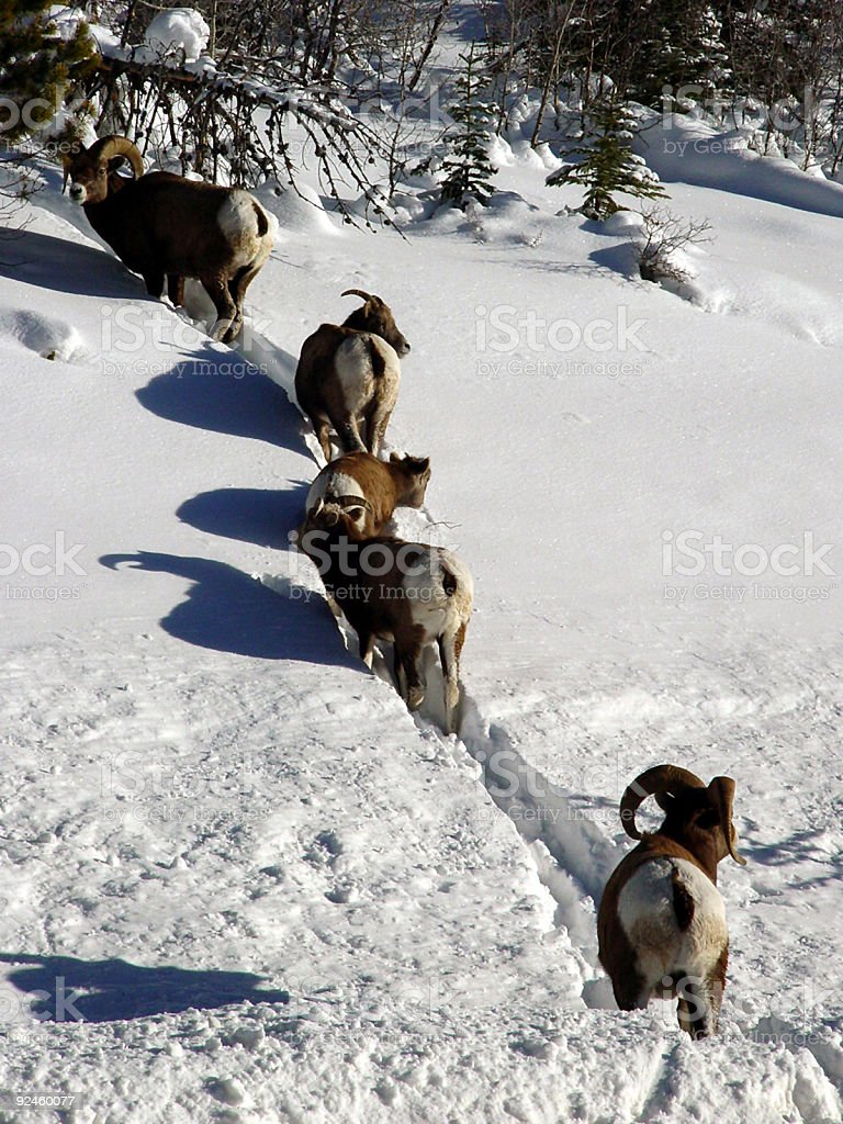 Bighorns in a line royalty-free stock photo