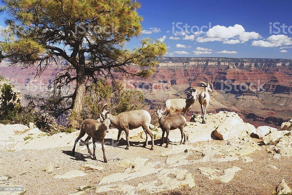 Bighorns in Grand Canyon stock photo