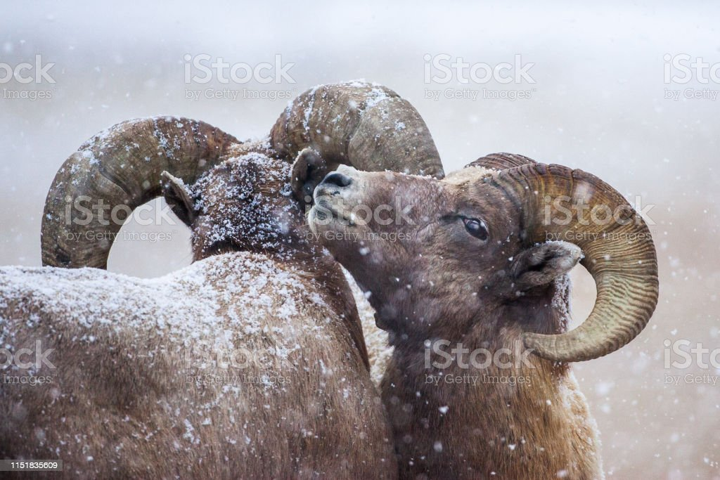 Bighorns in the snow - Royalty-free Animal Stock Photo