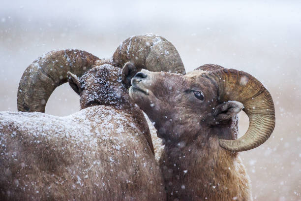 Bighorns in the snow stock photo