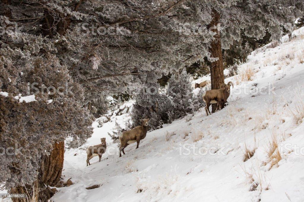 Bighorns on steep hill, Yellowstone - Royalty-free Bighorn Sheep Stock Photo