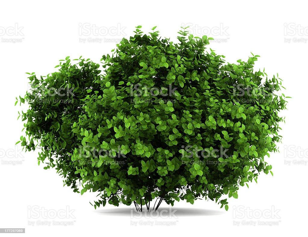bigleaf hydrangea bush isolated on white background stock photo