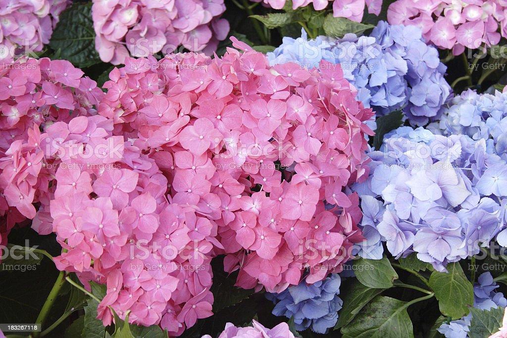 Bigleaf Hydrangeas stock photo