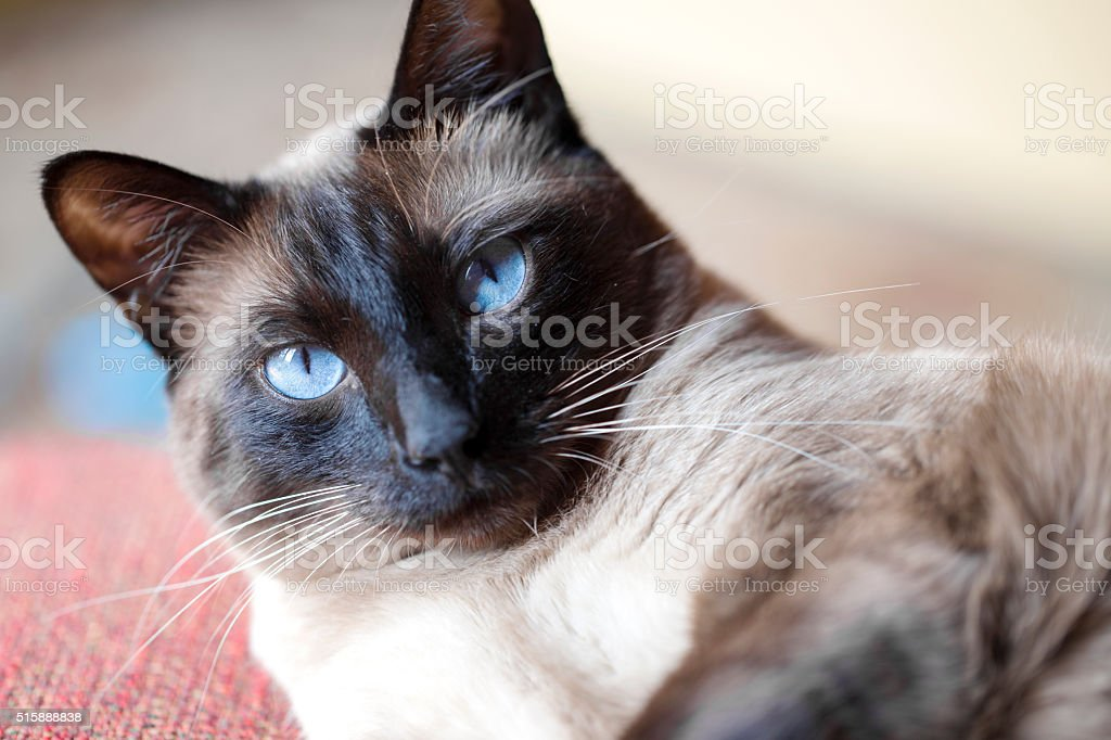 Bijou, the Siamese stock photo