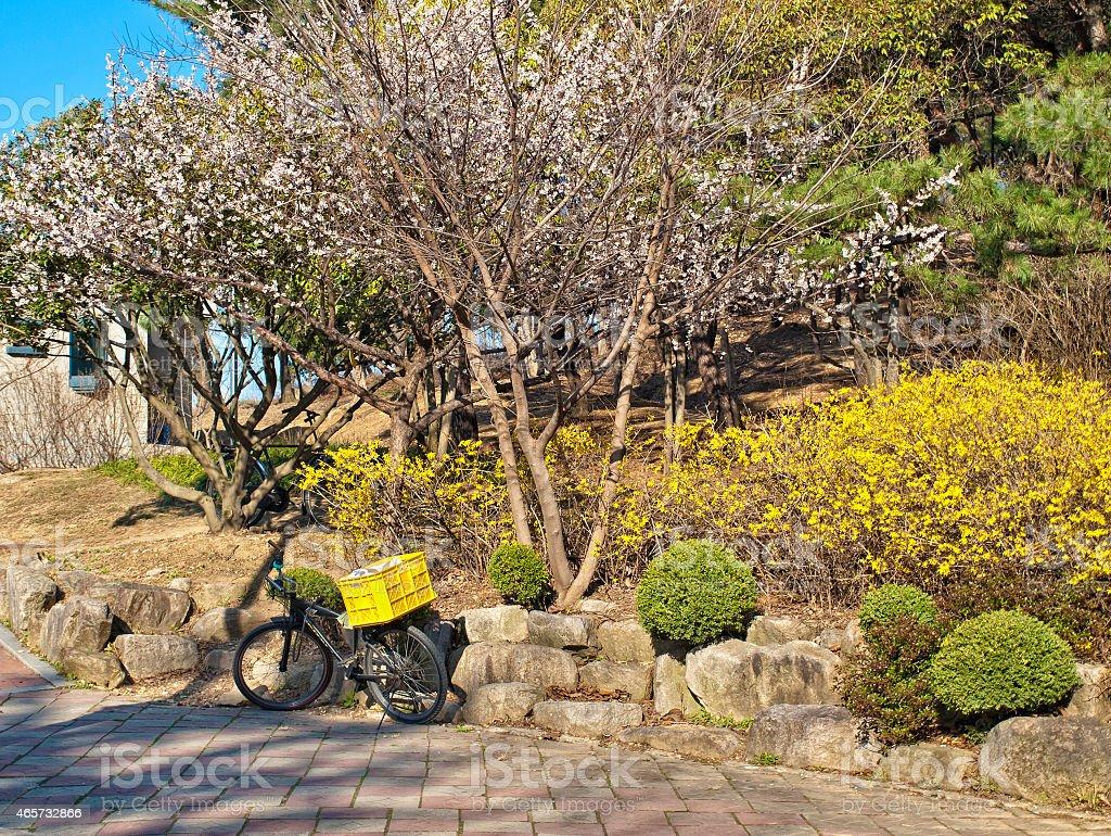 Велосипед под цветущие дерево стоковое фото