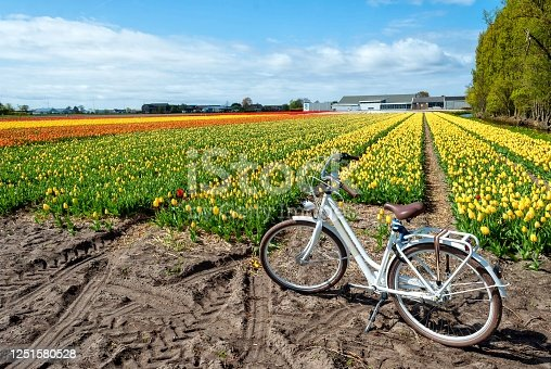 View of a field of tulips with bike. The most rapresentative elements of Holland