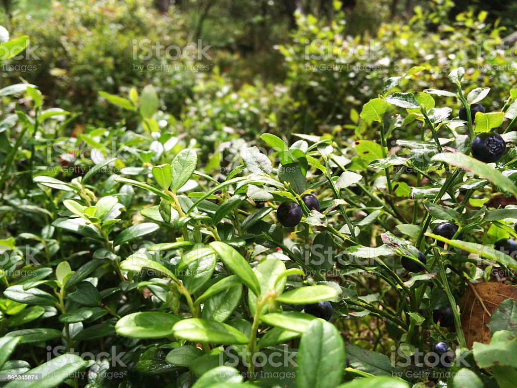 bilberry-bush with ripe berries in the forest royalty-free stock photo