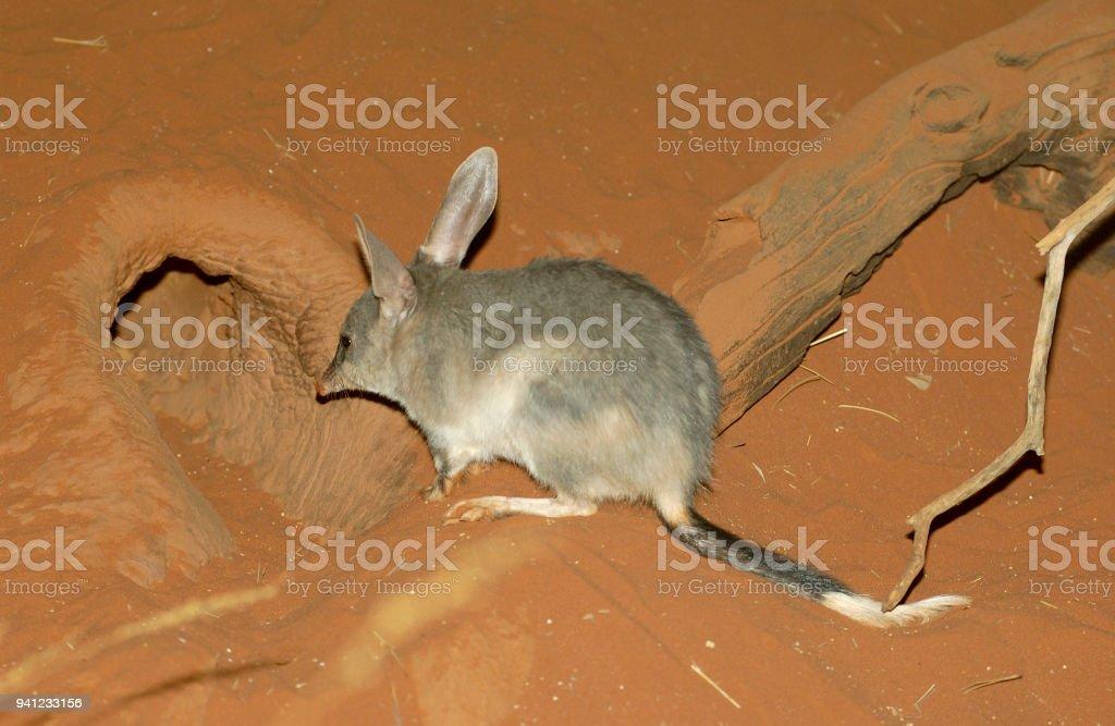 Bilby , or rabbit-bandicoot. stock photo