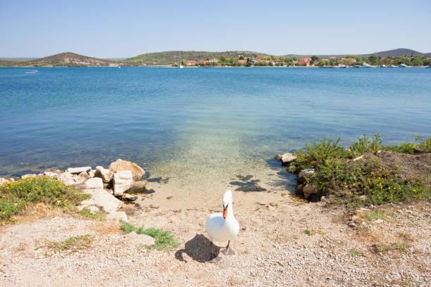 Bilice, Sibenik-Knin, Kroatien-Ein Schwan als Torhüter – Foto