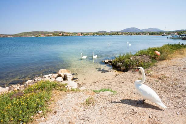 Bilice, Sibenik-Knin, Kroatien-Ein Schwanenkrau wartet am Strand auf seine Familie – Foto