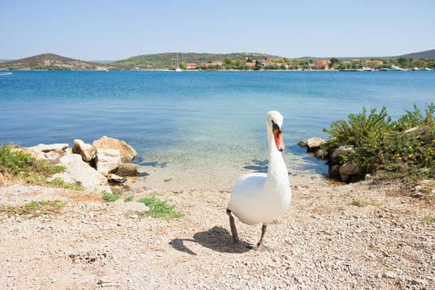 Bilice, Sibenik-Knin, Kroatien-Ein weißer Schwan, der den Strand hinauf geht – Foto