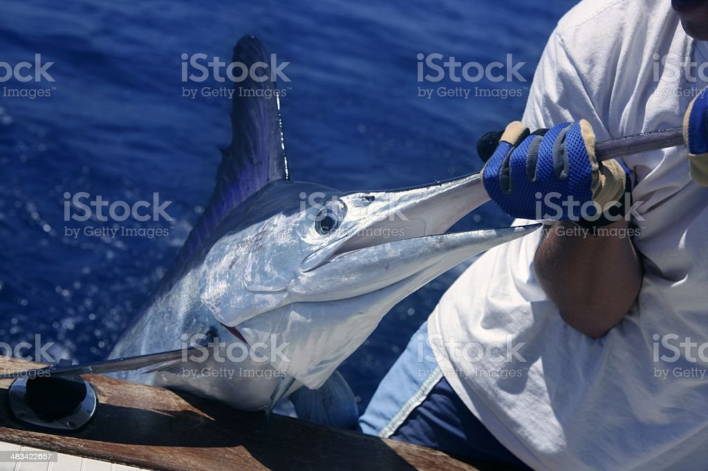 Billfish white Marlin catch and release on boat stock photo