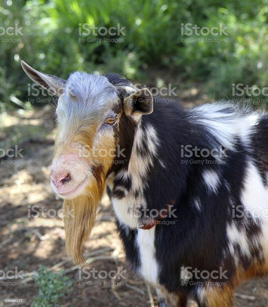 Billie Goat stock photo