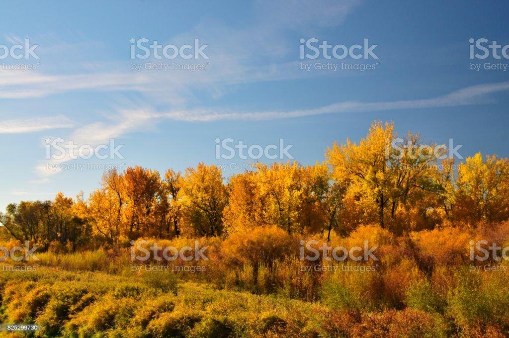 Billings Riverfront Park Cottonwood Trees stock photo