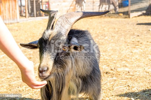 This billy goat was found in an enclosure at a pumpkin patch and farm in Utah.  This was one of a variety of autumn themed activities at the farm.
