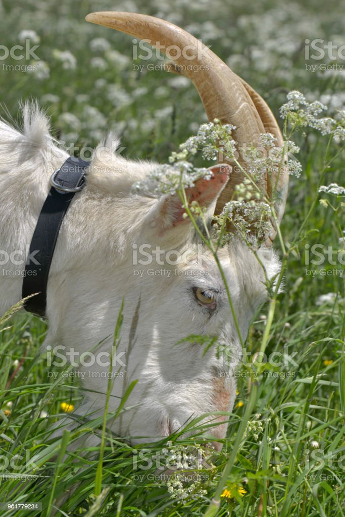 billy goat grazing royalty-free stock photo