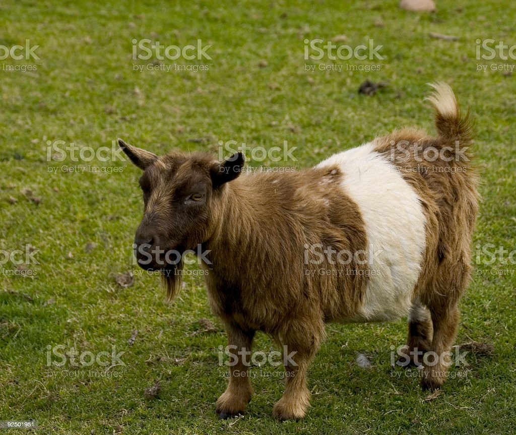 Billy Goat royalty-free stock photo