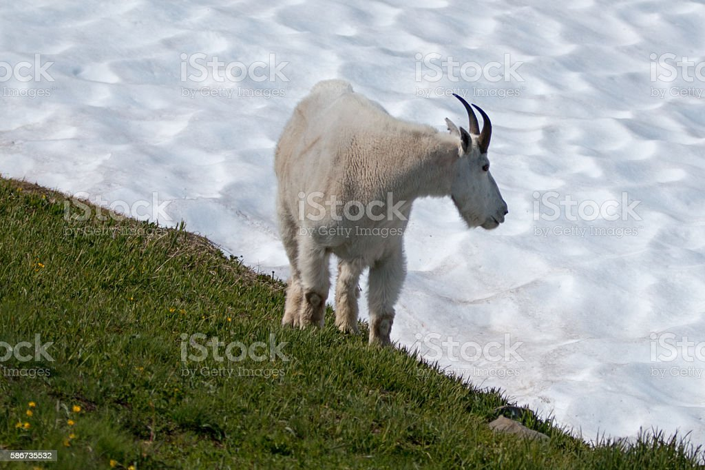 Billy Mountain Goat on Hurricane Ridge snowfield Olympic National Park stock photo