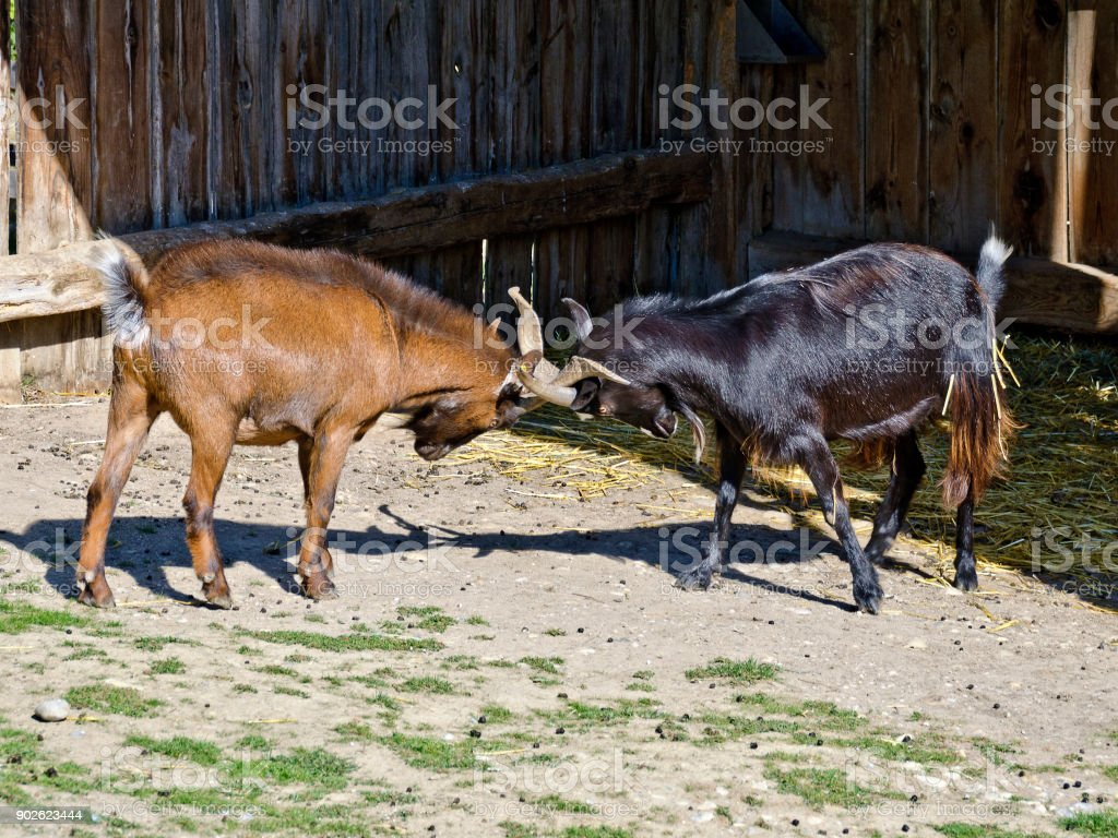 billy-goats fighting stock photo