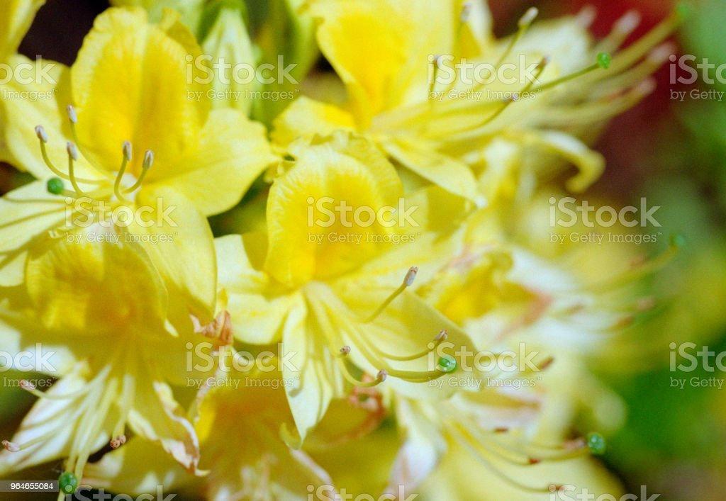 Binch of yellow rhododendron flowers on a branch, close-up image. Shot on film royalty-free stock photo
