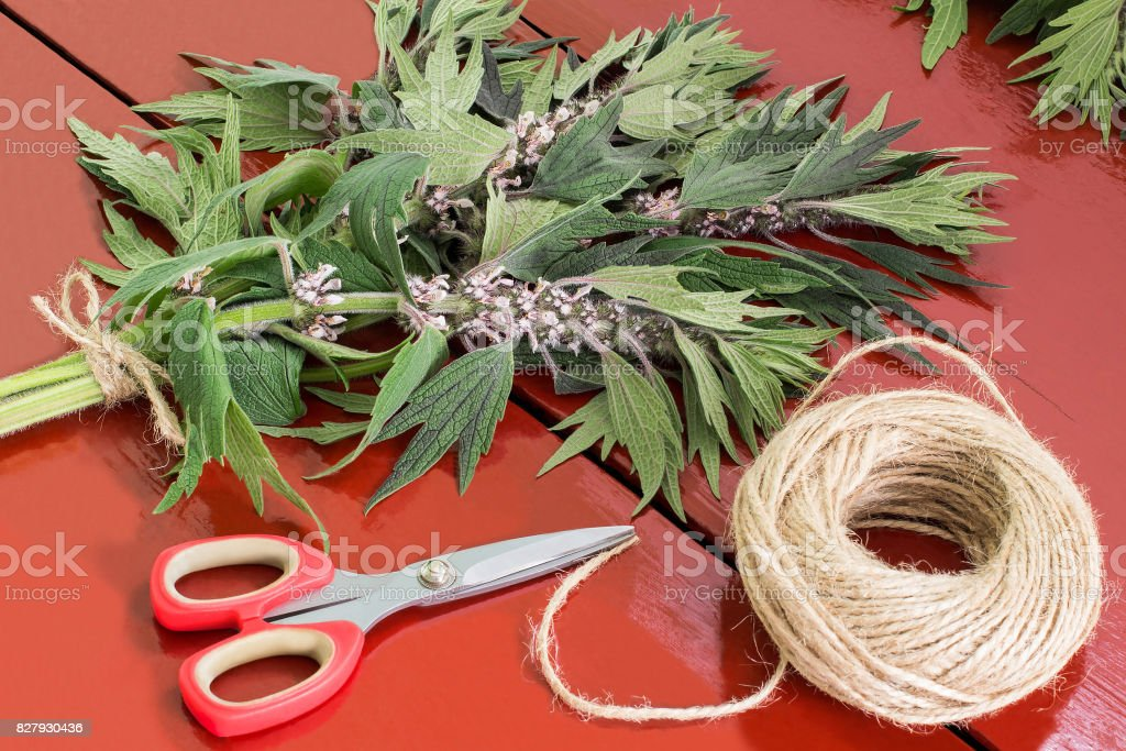 Binding of motherwort (Leonurus cardiaca) in bundles stock photo