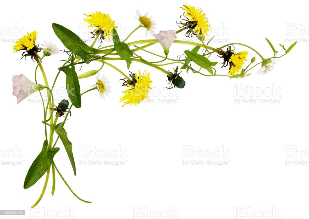 Bindweed, dandelion and daisy flowers and leaves in corner arrangement stock photo