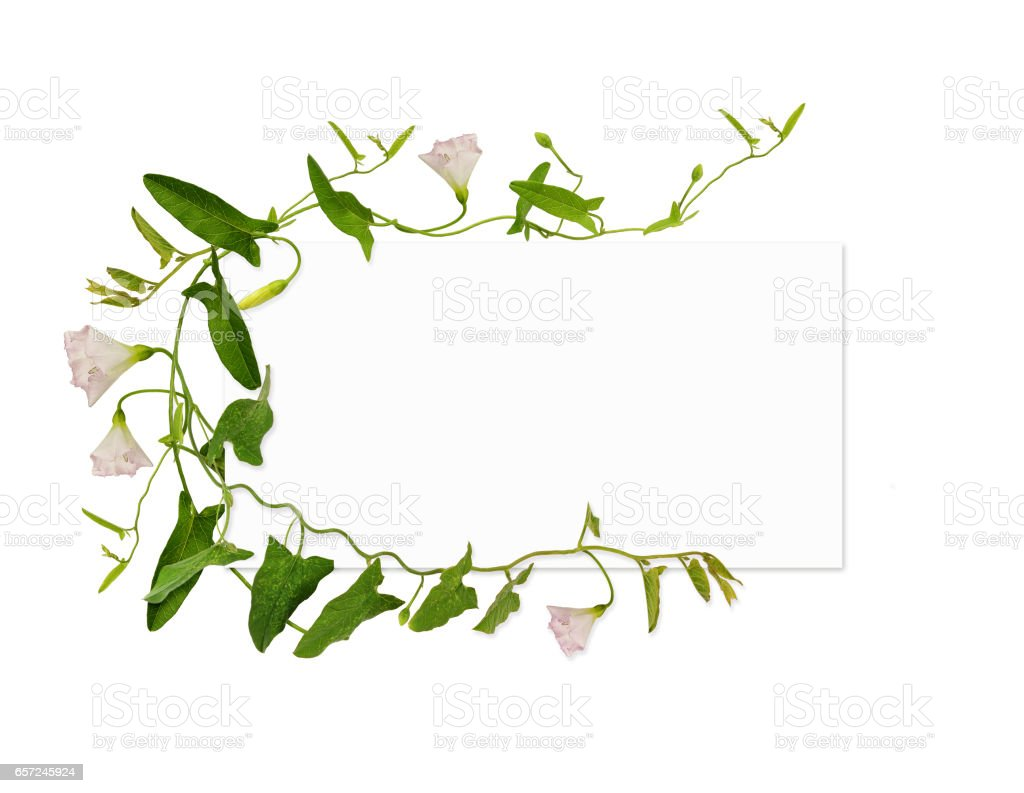 Bindweed flower and leaves and a card stock photo
