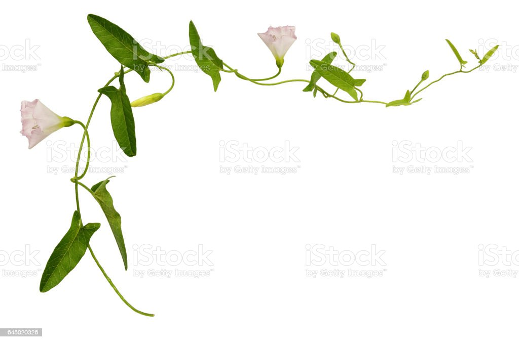 Bindweed flower and leaves stock photo