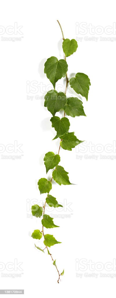 Bindweed leaves isolated on white background stock photo