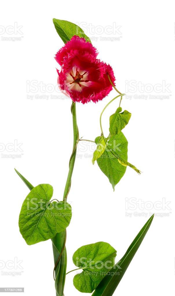 Bindweed on a tulip stock photo