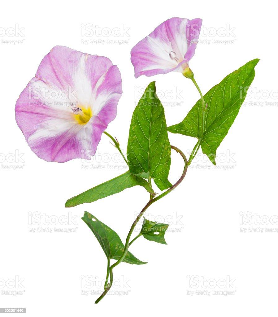Bindweed (Convolvulus arvensis) pink flower stock photo