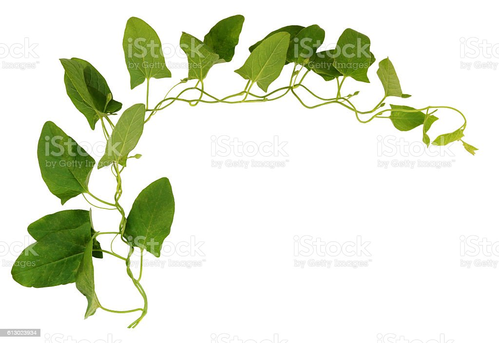 Bindweed twig with green leaves stock photo