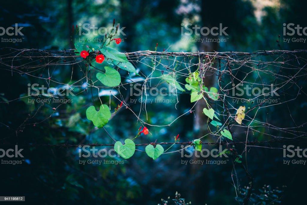 Winde mit roten Blüten auf rostigen Stacheldraht – Foto
