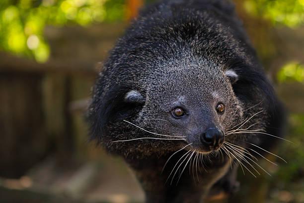 binturong or bearcat (arctictis binturong) - gato civeta fotografías e imágenes de stock