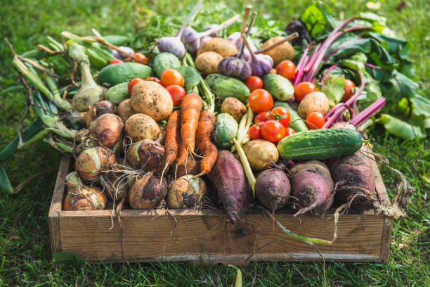 biożywności. produkty ogrodowe i zebrane warzywa. świeże warzywa gospodarskie w drewnianym pudełku - zbierać plony zdjęcia i obrazy z banku zdjęć