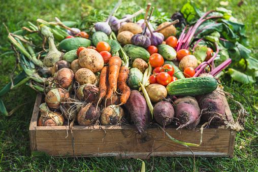 바이오 음식입니다 정원 생성 그리고 수확된 야채입니다 나무 상자에 신선한 농장 야채 가을에 대한 스톡 사진 및 기타 이미지