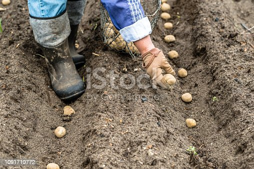 Bio potato seeds. Farmer planting potatoes on field, organic farming concept