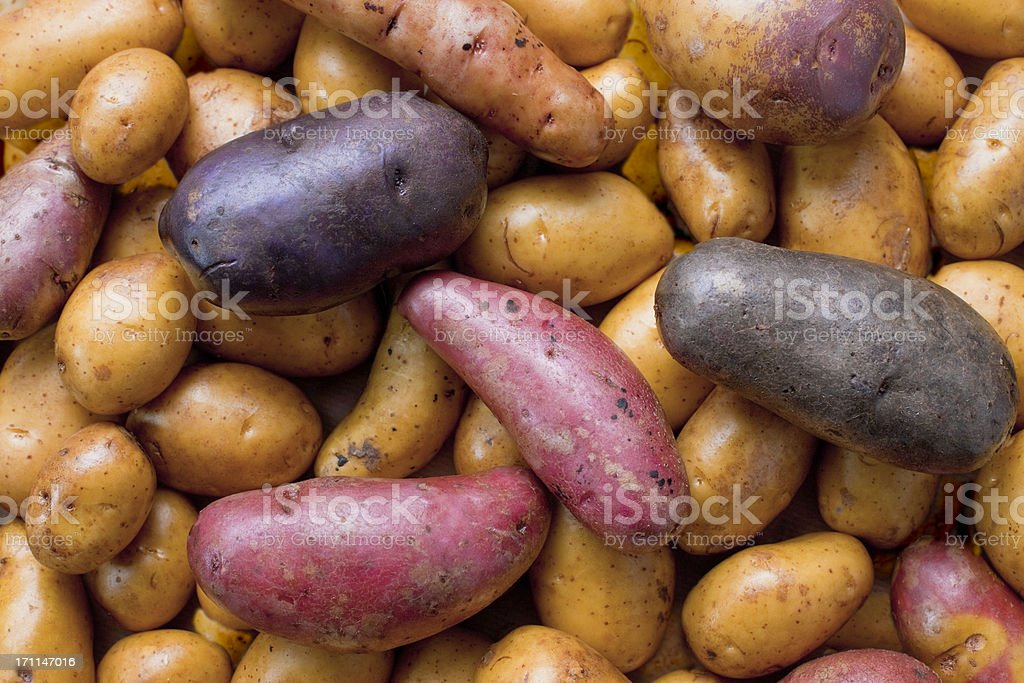 biodiversity - variety of potatoes royalty-free stock photo