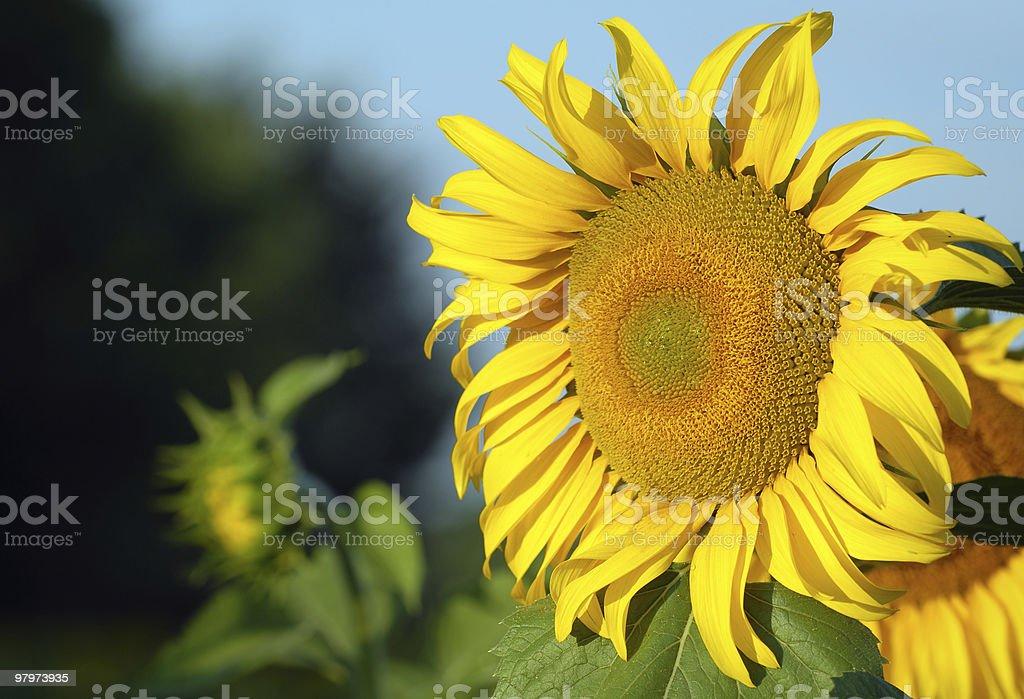 Biofuel source royalty-free stock photo