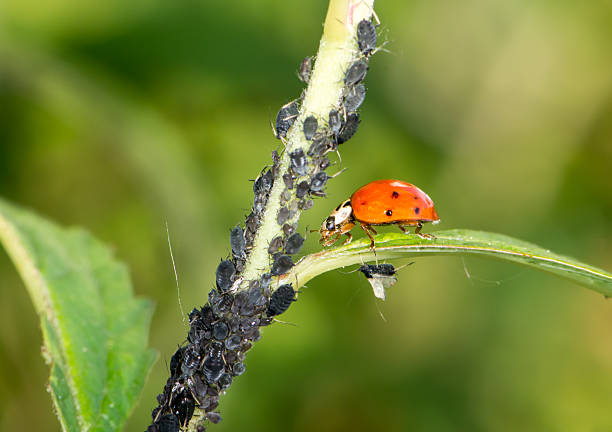 Biological Pest Control Biological pest control - ladybug eating lice aphid stock pictures, royalty-free photos & images