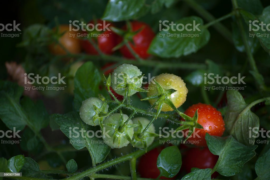 Biological tomatoes royaltyfri bildbanksbilder