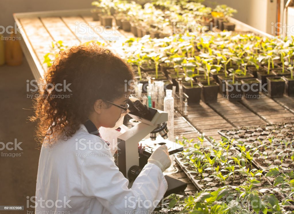 Biologist looking in microscope in greenhouse stock photo