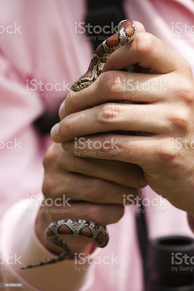 Biologist shows corn snake stock photo