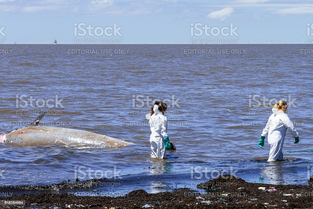 Biologists collect samples of a ziphiid aground off the coast stock photo
