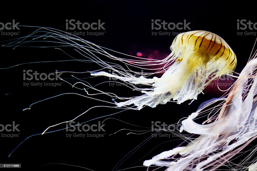 Bioluminescent Japanese sea nettle jellyfish stock photo