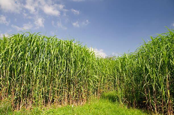 biomasse fuel - chinaschilf stock-fotos und bilder