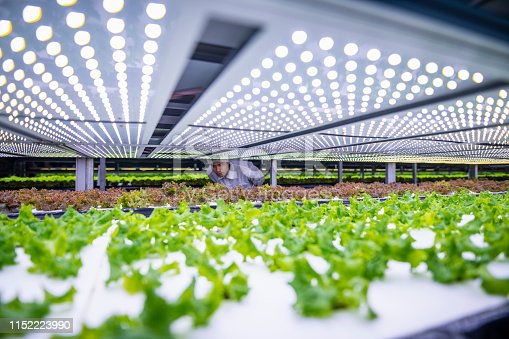 istock Biotech Specialist Examining Living Lettuce at Vertical Farm 1152223990