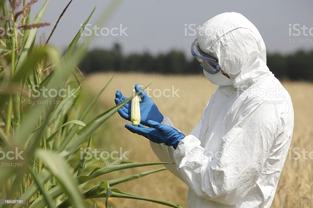 biotechnology engineer examining immature corn cob on field stock photo
