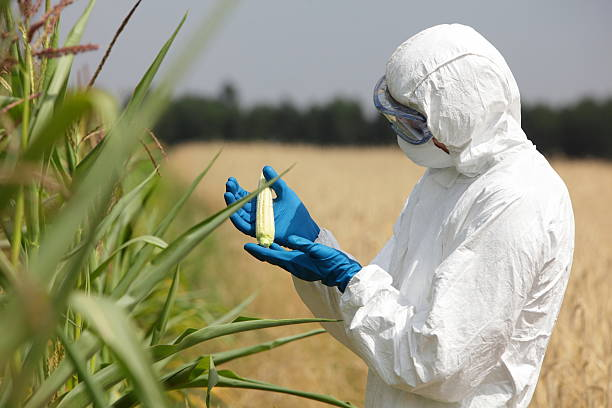 biotechnology engineer examining immature corn cob on field - genetic modification stock photos and pictures